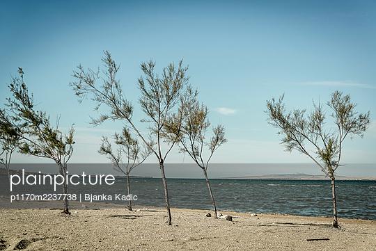 Croatia, Tamarisk trees on the beach - p1170m2237738 by Bjanka Kadic