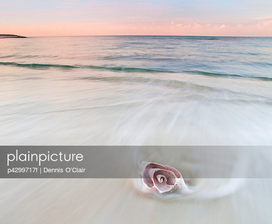 Pink conch shell on beach, blurred water - p4299717f by Dennis O'Clair