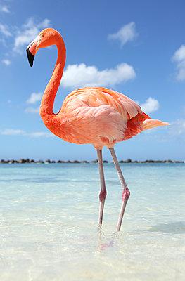 Flamingos at Aruba - p045m912539 by Jasmin Sander