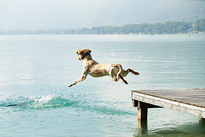 Dog jumping off pier into Lac d'Annecy, Annecy, France - p429m2074513 by Ross Woodhall