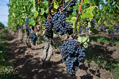 Black grapes in vineyard at St Emilion in the Bordeaux wine region of France - p871m895906 by Tim Graham