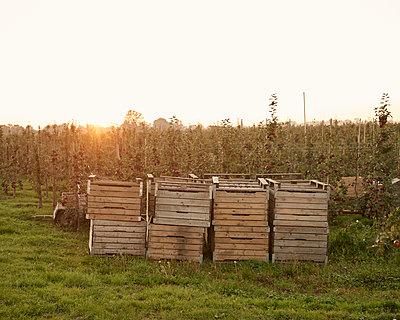Apfelkisten vor Plantage - p1124m1069638 von Willing-Holtz
