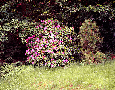 Rhododendron - p2680351 by Andrea Völkel