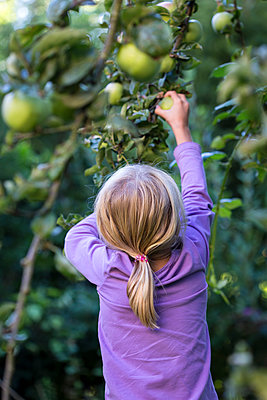 Back view of little girl picking apple from tree - p300m2114465 by Jana Fernow