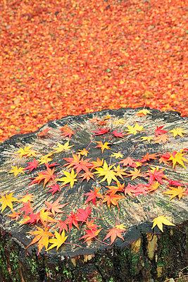 Falling maple leaves on tree stump - p307m910566f by SHOSEI/Aflo