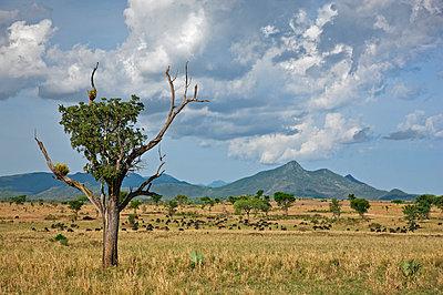 Buffalos graze in Kidepo National Park - p652m716892 by Nigel Pavitt