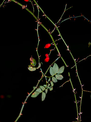 Rose hips - p801m2257681 by Robert Pola