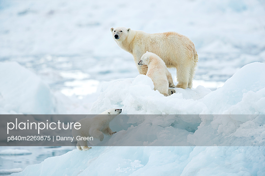 Polar bear (Ursus maritimus) female and cubs, one cub walking up slope of ice in foreground. Svalbard, Norway, July. - p840m2269875 by Danny Green
