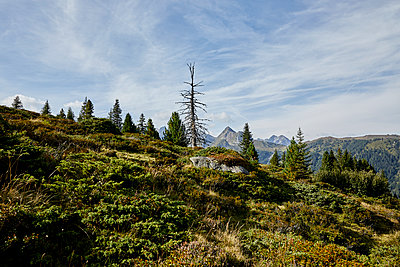 Bushes at the timberline in the Alps - p1511m2223051 by artwall
