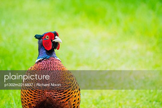 A male ring necked pheasant  - p1302m2214837 by Richard Nixon