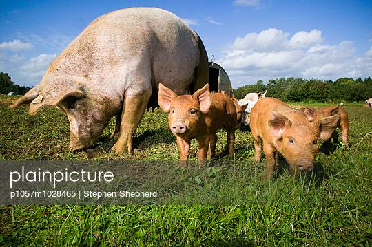 Schweinefamilie - p1057m1028465 von Stephen Shepherd