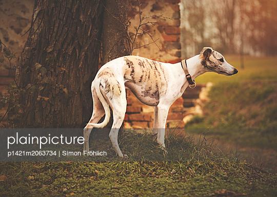 Windhund - p1421m2063734 von Simon Fröhlich
