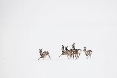 Roe deer herd in flight - p1026m1038757f by Romulic-Stojcic