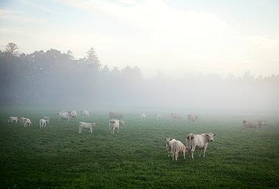 Herde Kühe im Nebel - p1270m1108371 von Elisabeth Toll