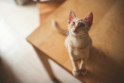 Tabby kitten sitting on a table looking up - p300m1058957f by Ramon Espelt
