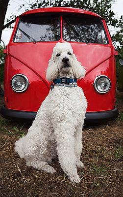 Pudel sitzt eitel vor rotem VW-Bus - p045m1590362 von Jasmin Sander