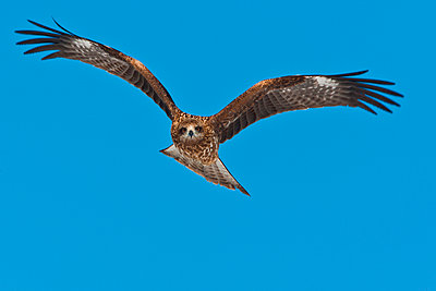 Common buzzard in flight - p1100m887859f by Art Wolfe