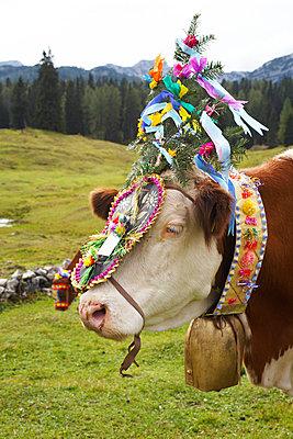 Kuh mit Kopfschmuck - p1205m1018755 von Toni Anzenberger