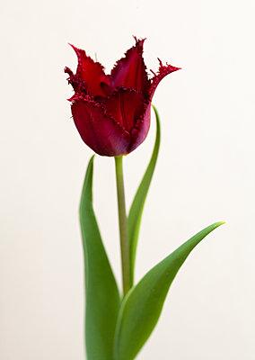 Rote Tulpe - p873m2269925 von Philip Provily