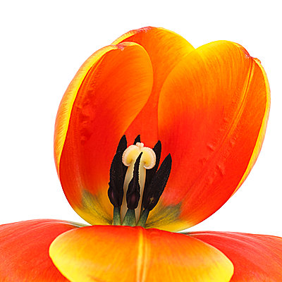 Close up of tulip - p1470m1541291 by julie davenport