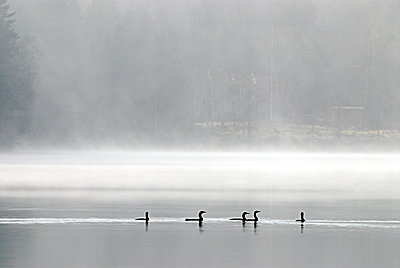 Ducks swimming on water - p312m1552374 by Scandinav Images
