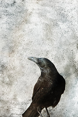 Crow - p450m2168109 by Hanka Steidle