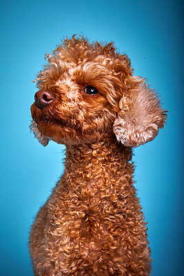 Brown poodle - p1010m2278721 by timokerber
