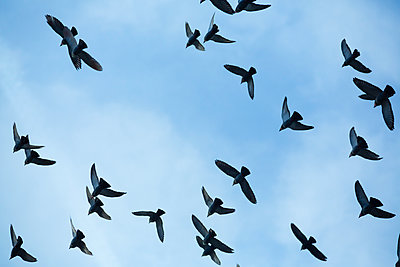 Flock of doves (Columbidae) flying in front of blue sky, view from below - p300m911394f by Nadine Ginzel