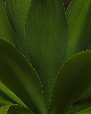 Green Succulent Leaves, Close-Up - p694m2068748 by Lori Adams