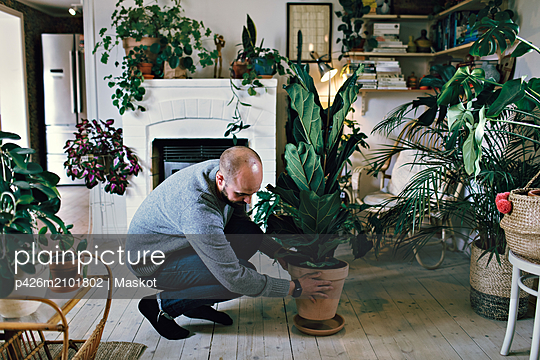Man positioning potted plant on hardwood floor in room at home - p426m2101802 by Maskot