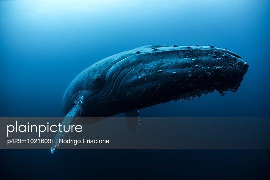 Humpback whale  swimming in the deep, Roca  Partida, Revillagigedo, Mexico - p429m1021609f by Rodrigo Friscione