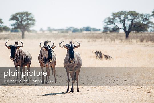 Gnus in der Savanne, Kalahari, Südafrika - p1065m982669 von KNSY Bande