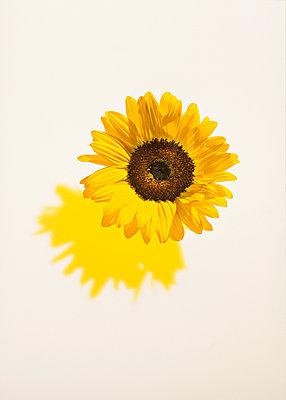 Sonnenblume - p1092m900012 von Rolf Driesen