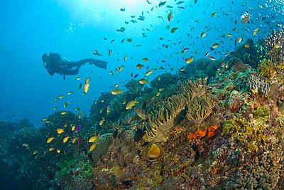 Apo Island Marine Park, Negros Oriental Island, Philippines, Southeast Asia; Scuba diver   - p4428382f by Design Pics