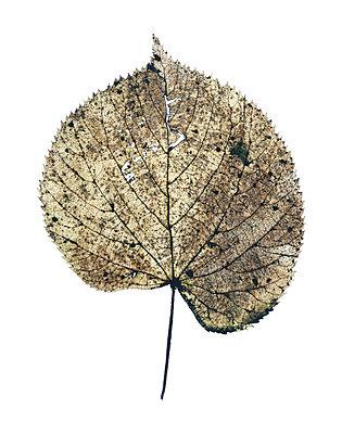 Leaf - p536m741845 by Schiesswohl