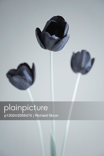 Three black tulips against  pale grey background - p1302m2055474 by Richard Nixon