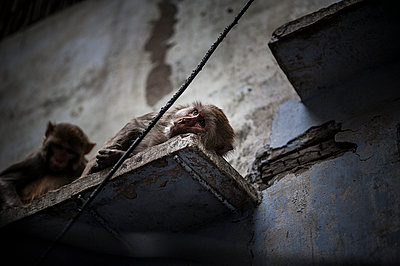 Monkey sleeping on a wall - p1007m1144308 by Tilby Vattard