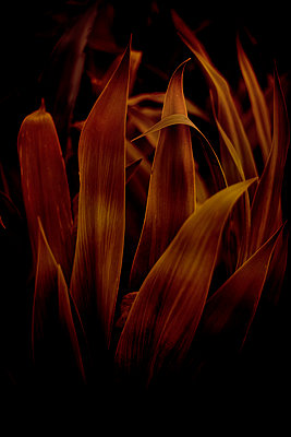 Mexican lily (Beschorneria yuccoides) - p1028m2230450 by Jean Marmeisse