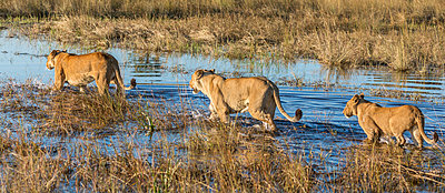 Botswana, Chief s Island, Okavango Delta. Three lionesses wading through shallow water. - p652m1505137 by Nigel Pavitt