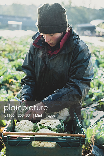Woman standing in field, putting freshly harvested cauliflowers in plastic crate. - p1100m2084831 by Mint Images