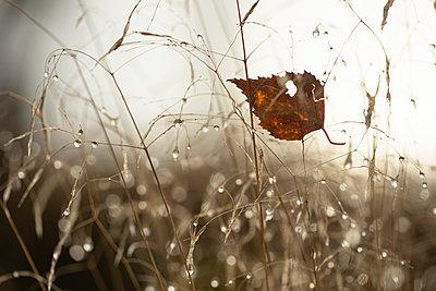 Autumn leaf in wet grass - p1687m2275823 by Katja Kircher