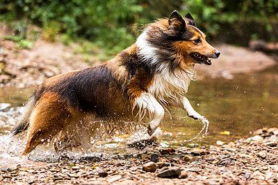 Germany, Shetland Sheepdog running through a pond - p300m975421f by Stefan Schurr