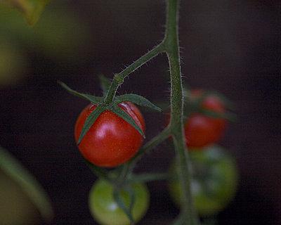 Tomaten reif und unreif - p6060603 von Iris Friedrich