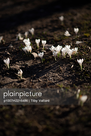 Crocus blossoming at spring - p1007m2216486 by Tilby Vattard