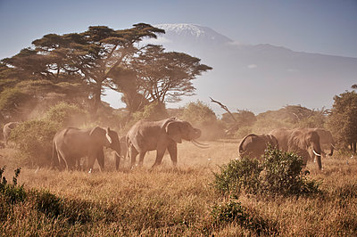 Herd of elephants against Mount Kilimanjaro, Kenya - p706m2158448 by Markus Tollhopf