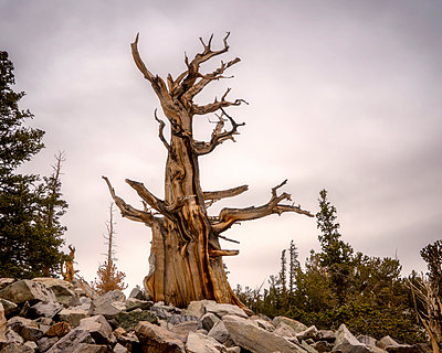 Old Bristlecone pine - p1154m1217565 by Tom Hogan