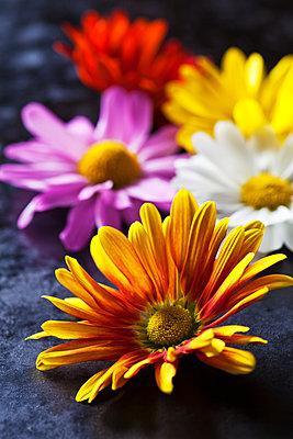 Flowerheads of Chrysanthemum - p300m1537554 by Dieter Heinemann