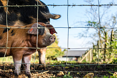 Pigs behind gate - p1057m1440444 by Stephen Shepherd