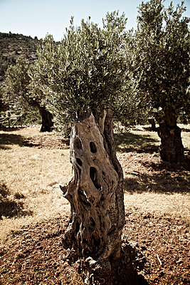 Olive trees in Majorca - p1065m1183391 by KNSY Bande