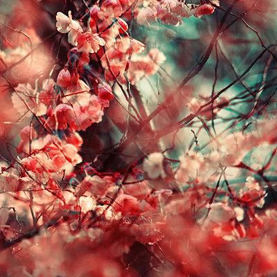 White and red blossoms, multiple exposure - p1640m2242046 by Holly & John